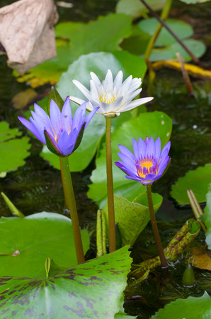 potent: Close - up of Lotus flower. roots and stalks are used in traditional herbal medicine along with the flower, the petals and other flower parts are the most potent.