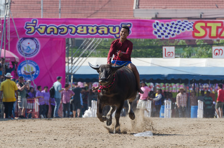 planting season: Chonburi, Thailand - October 26 , 2015 Buffaloes racing is held annually. the event is normally held before the rice planting season and marks the importance of buffaloes.