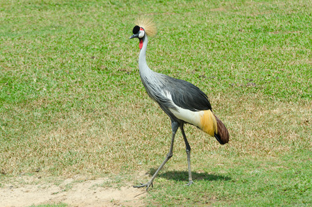 national bird: Grey Crowned Crane. The national bird of Uganda, it appears in its coat of arms.