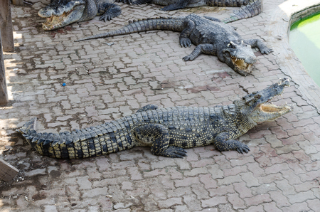blooded: A large freshwater crocodile bares its teeth. Stock Photo