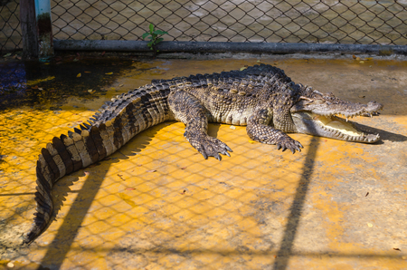 A large freshwater crocodile bares its teeth. physical disabilities.
