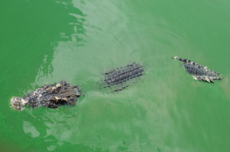 full blooded: A large freshwater crocodile, Scary crocodiles in water.