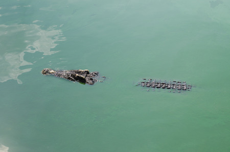full blooded: Scary crocodiles in water, big crocodile in a crocodile farm.