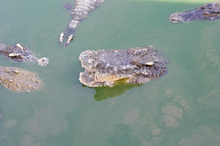 Scary crocodiles in water, big crocodile in a crocodile farm.