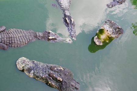 blooded: Scary crocodiles in water, big crocodile in a crocodile farm.