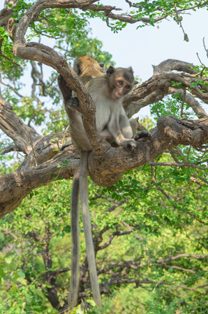 species living: Monkeys generally possessing tails and consisting of approximately 260 known living species. Many monkey species are tree-dwelling arboreal, although there are species that live primarily on the ground.