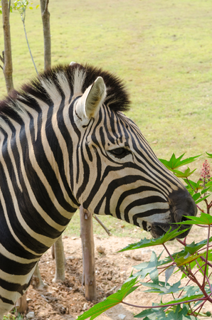 herbivore natural: African plains zebra on the dry brown savannah grasslands browsing and grazing.