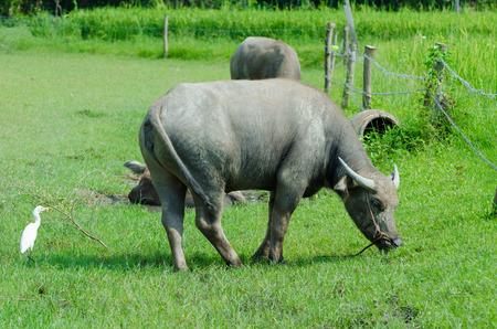 domestication: Buffalo eating grass along the Thai countryside.