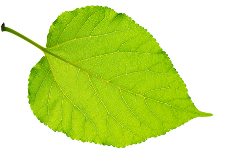 The green leaves on the white background, close-up. Stock Photo