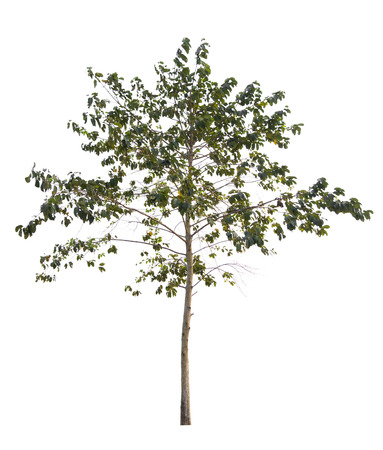 Tree isolated on a white background, Can be used a tree for part assembly to your designs or images.