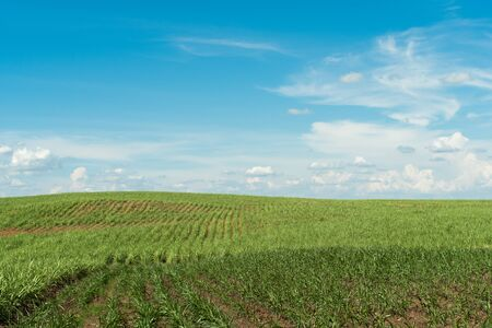 Landscape of green field on mountain / View Corn field in farm agriculture and blue sky background Imagens