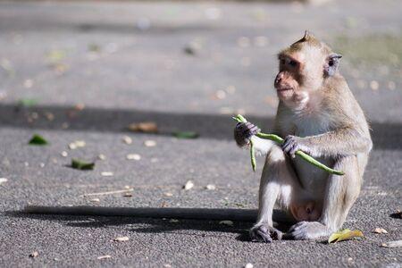 Close up portrait monkey in the monkey park. Lopburi, THailand.
