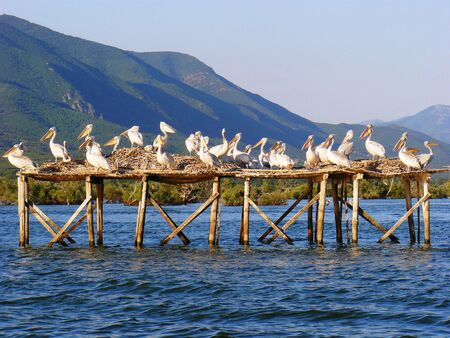 kerkini: Pelicans build jacks on lake-reserve Kerkini Serres, Greece