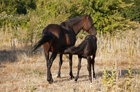 breastfeed: Wild mare horse suckling her little