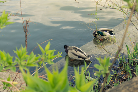 Ducks swim in their cases removed from the bushes. Split color toning photo