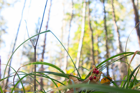 majalis: Convallaria majalis. Poisonous berries lily of the valley on a blurred background of mixed forest.
