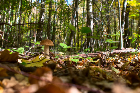 edulis: boletus edulis in the forest