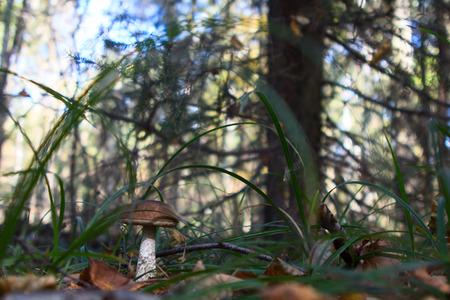 edulis: boletus edulis in the forest