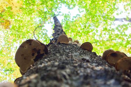 針広混交林のバーチにチャガきのこ。