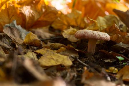 milkcap: Lactarius torminosus mushroom in the forest Stock Photo
