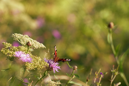 Butterfly 'Peacock' is enjoying the nectar of a flower at sunset Standard-Bild