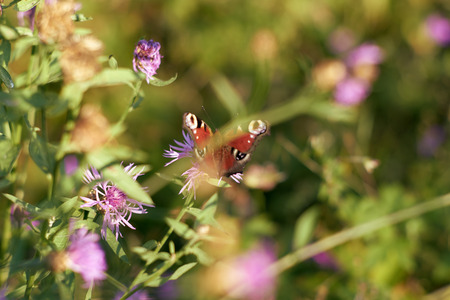 Butterfly 'Peacock' enjoying nectar