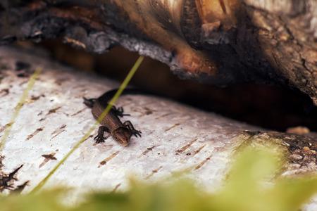 Lizard in a birch grove