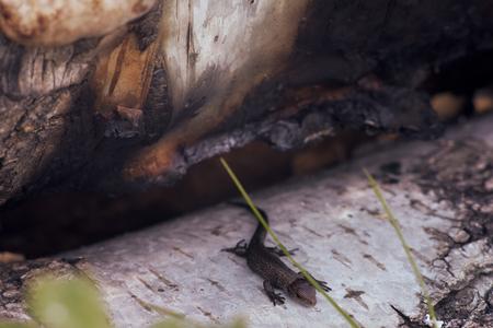 Lizard on birch logs