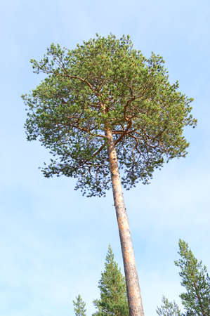 needless: pine Stock Photo