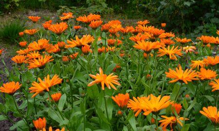 dacha: calendula flowers