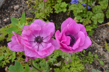 dacha: image of red anemone flower.