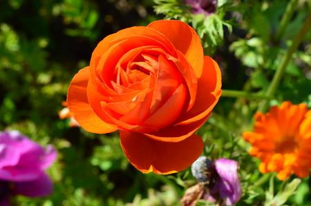 anemone flower: fiore anemone.