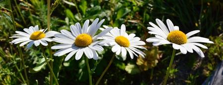 dacha: daisy garden.