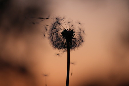 blown away: A taraxacum in the sunset.