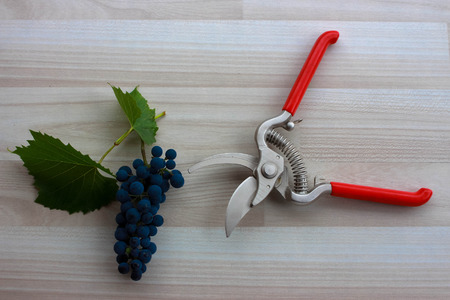 biological vineyard: Blue grapes and extended pruning shears