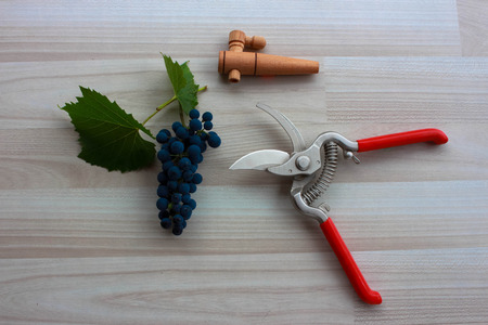 biological vineyard: Blue grapes with wooden spigot and extended pruning shears on beige floor Stock Photo