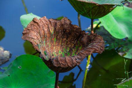 sere: brown sere leaf