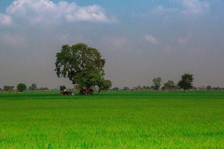 cornfield: big tree in cornfield