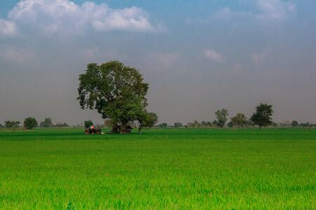 champ de mais: grand arbre champ de ma�s