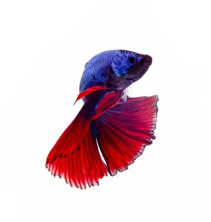 fighting fish: colorful fighting fish