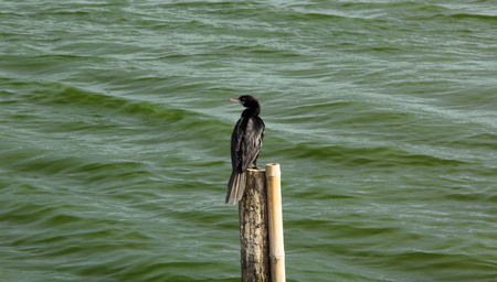 cormorant: cormorant on the timber cleat