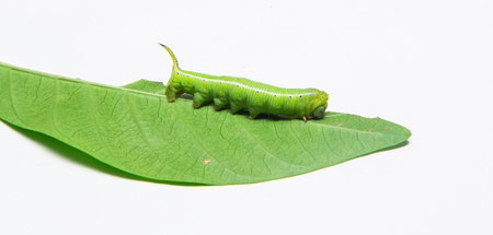 green worm on white background Stock Photo