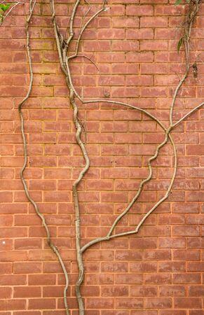 haulm: Tree climbing on the brick wall Stock Photo