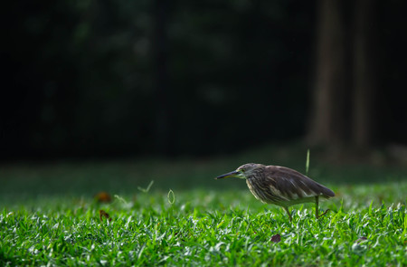 Egret foraging walk in green grass