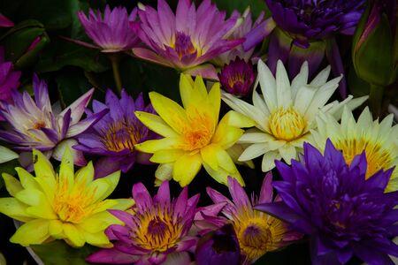 closeup colorful blossom lotus flower