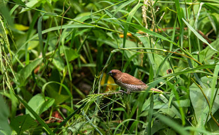 Closeup Scaly-breasted Munia perching on green grass background