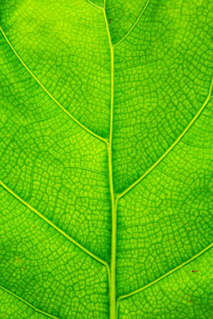 It is Green leaf texture for pattern and background.
