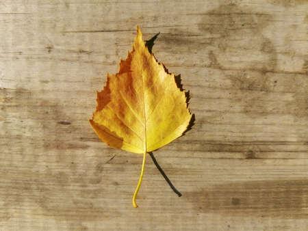 Yellow autumn birch leaf on a wooden background.