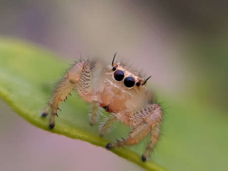 Hyllus is a genus of the spider family Salticidae.  hyllus spider on leaf garden spider green leaves plant to sit hyllus spider