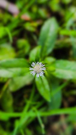 Eclipta prostrata plant flower garden flowers